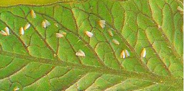 Images Of Garden Pests Whiteflies